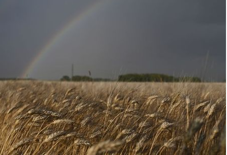 A rainbow is seen over a field of wheat ready for harvesting in Omsk region, Russia August 31, 2020. REUTERS/Alexey Malgavko