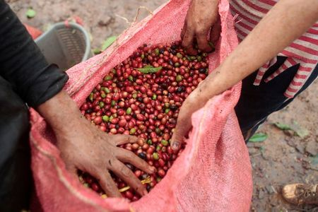 Workers show recently harvested robusta coffee fruits at a plantation in Nueva Guinea, Nicaragua December 29, 2017. Picture taken December 29, 2017. REUTERS/Oswaldo Rivas